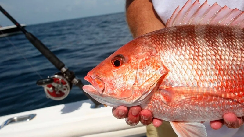 Snapper Study Shows Many More Than Expected
